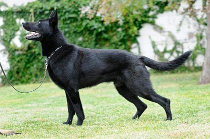 Black And White German Shepherd Puppy Black german shepherd