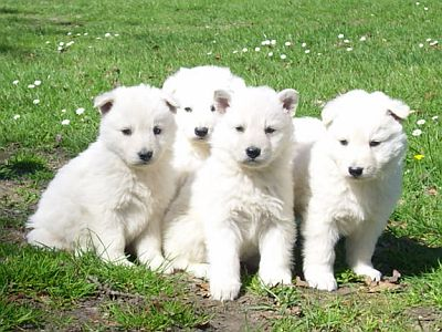 White GSD Puppies