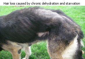 Hair Loss In Dogs Mygermanshepherd Org