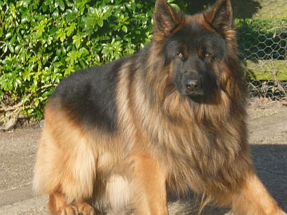 Long Hair German Shepherd Breeders