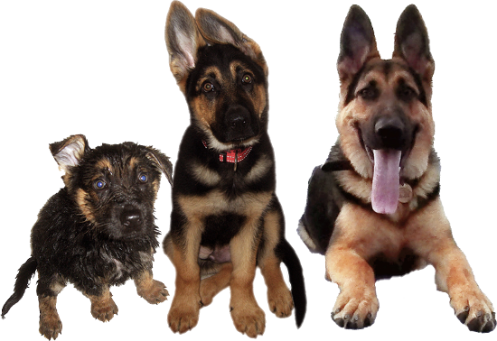 Training adult german shepherd stop barking
